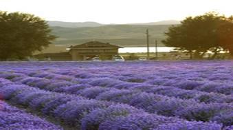 Lavenderfields st. maries