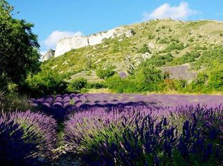 Lavender France YL Farm